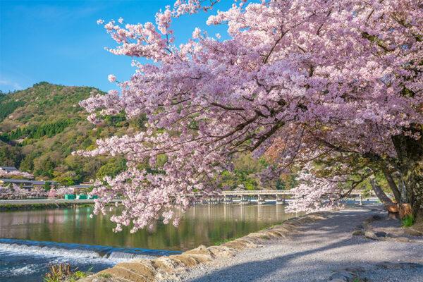 嵐山 桜イメージ