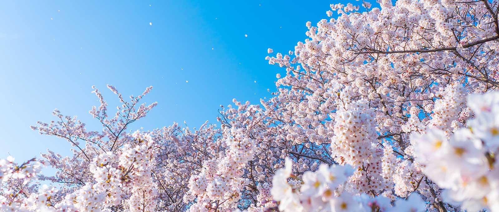 トップイメージ(桜)
